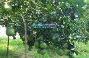 Bán vườn bưởi Châu Đức gần quốc lộ 56 đi Đồng Nai (MS 1587)