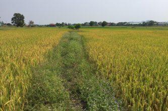 Chuyển đất lúa thành đất ở